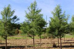 Cypress Shawnee Brave