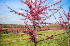 Redbud Appalachian