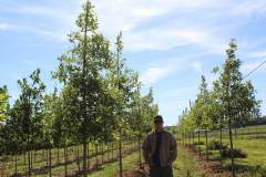 Oak Overcup 2.5 in