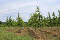 Oak Pin 1.75-2.0 in