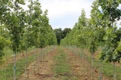 Oak Shumard 1.75 in