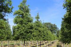 Oak Willow 2.5 in