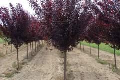 Plum Purple Leaf