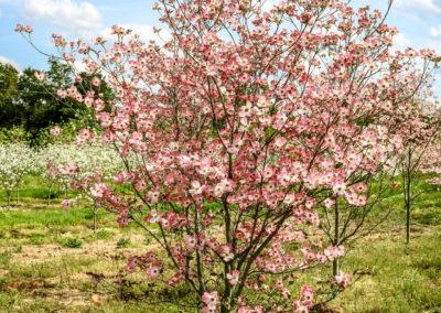 Dogwood Pink