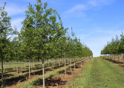 Oak Nuttall 2.5
