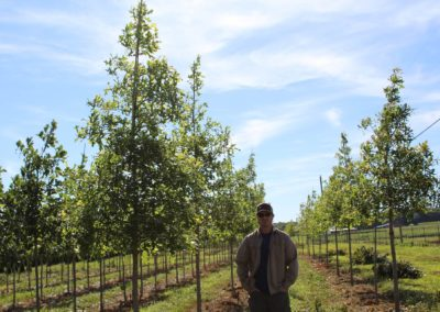 Oak Overcup 2.5in