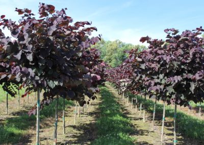 Redbud Forest Pansy